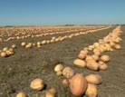 libbys pumpkin row